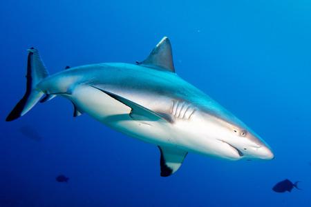 白い灰色サメの顎を見ながらの肖像画を閉じる 写真素材