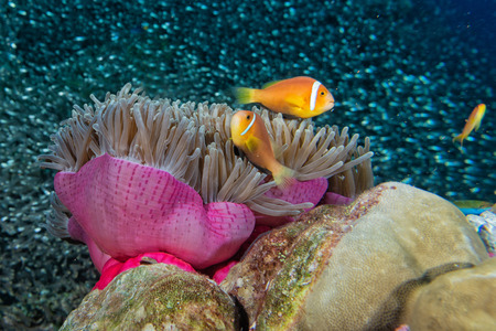 guinea worm: Clown fish family inside a pink violet anemone with
