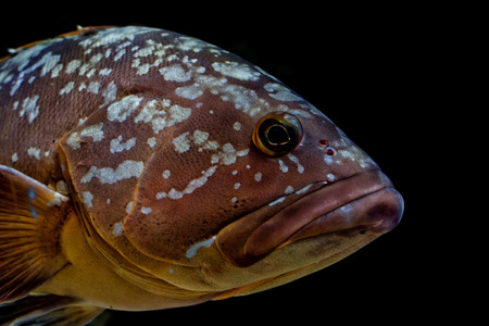 An isolated an black colorful grouper photo