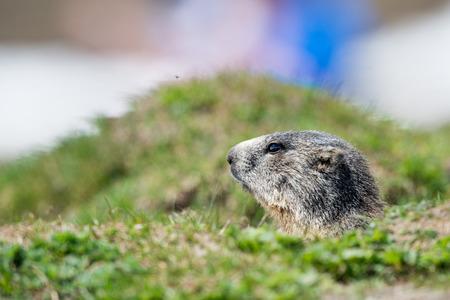 christmas grounds: Isolated marmot portrait ground hog on mountain background Stock Photo