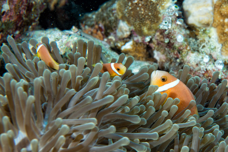 Clown fish portrait while looking at you from anemone tentacles photo