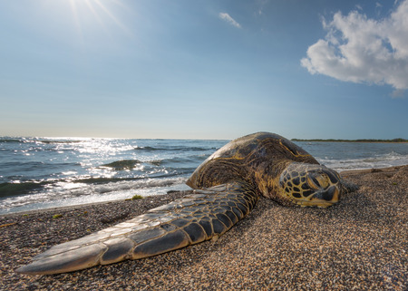 Green Turtle while relaxing on sandy beach in big island Imagens - 39331706