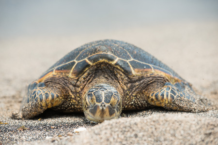 Green Turtle while relaxing on sandy beach in big island photo