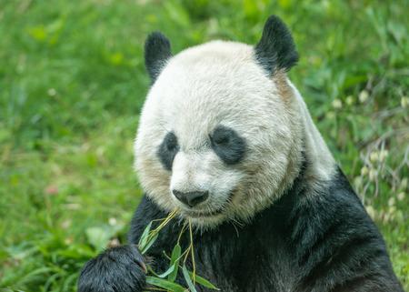 oso panda: panda gigante comiendo bambú cerca retrato Foto de archivo