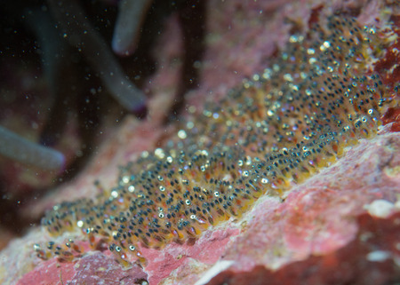 super macro: Clown fish eggs super macro in Cebu Philippines
