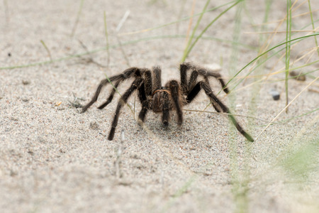 invertabrate: Tarantula Spider close on the sand background in Patagonia, Argentina