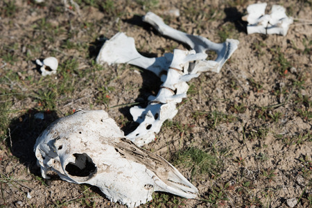cow teeth: sheep skull and bones on the ground in Patagonia, Argentina