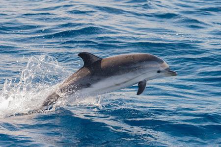dauphin: dauphin sautant dehors de la mer Banque d'images