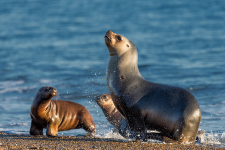 patagonia sea lion portrait seal while running on the beach