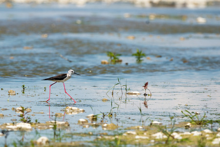 stilt: black-winged stilt looking at you and reflecting on water