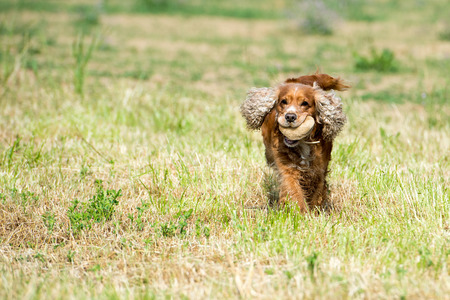 puppy dog cocker spaniel running to you while holding a stone photo