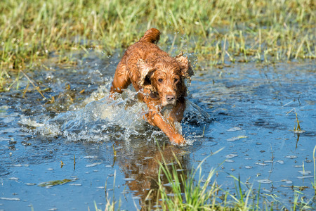 cocker spaniel while running to you in the water photo