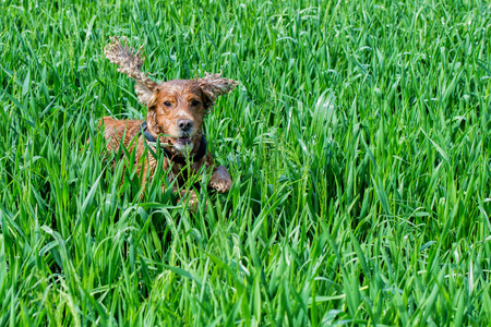 cocker spaniel while running in the green grass background photo