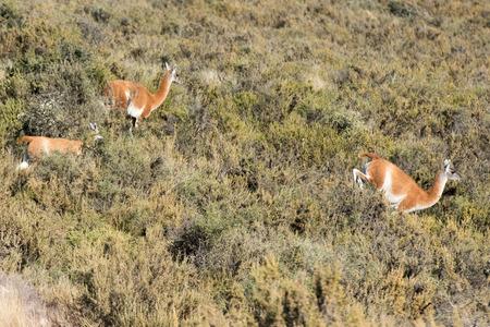 guanaco portrait in Valdes Peninsula Argentina Patagonia photo