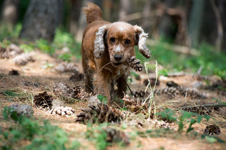 puppy dog cocker spaniel while holding a pine cone photo