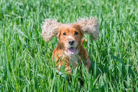 Dog puppy cocker spaniel while jumping on grass background Imagens - 40890184