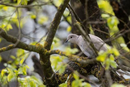 turtle dove: Turtle dove bird on pine background