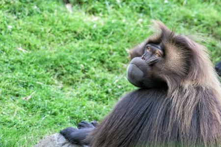 ape: gelada baboon monkey ape portrait on the grass