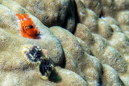 hard coral: christmas tree worm on hard coral Stock Photo