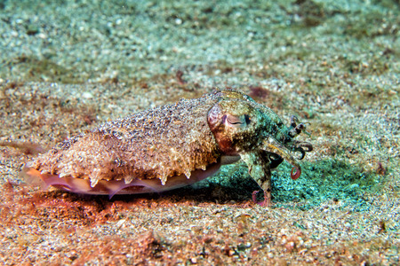 cuttlefish: changing colors cuttlefish flamboyant sepia underwater