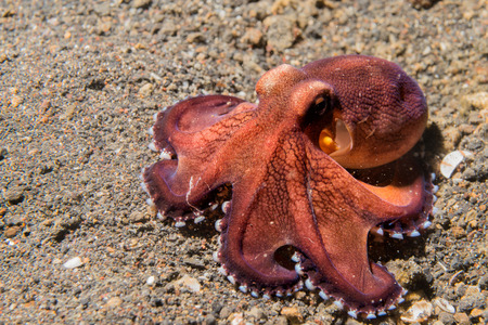 hideout: coconut octopus on sand background while diving in Indonesia