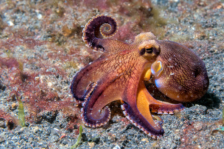 octopus: coconut octopus on sand background while diving in Indonesia