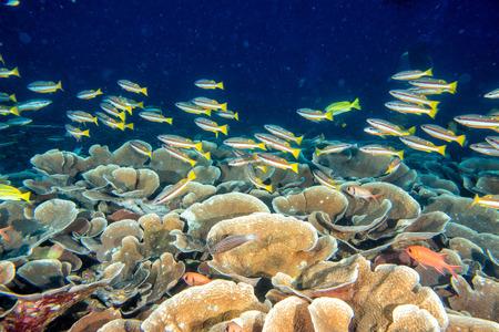 napoleon fish: Maldives corals house for Fishes underwater landscape Stock Photo