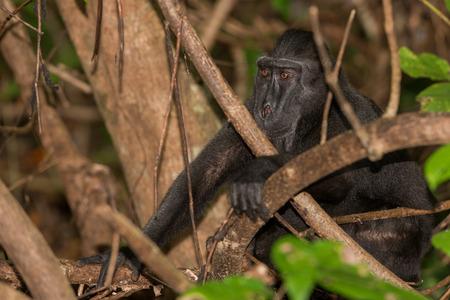 celebes: Celebes Sulawesi endemic crested black macaque ape portrait