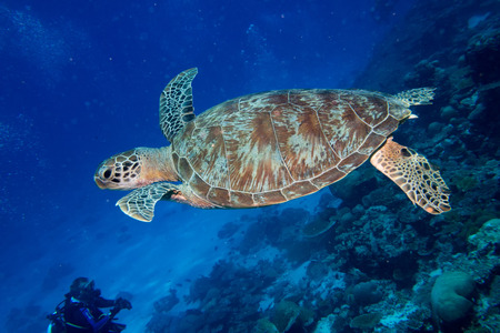 Green turtle coming to you underwater while diving
