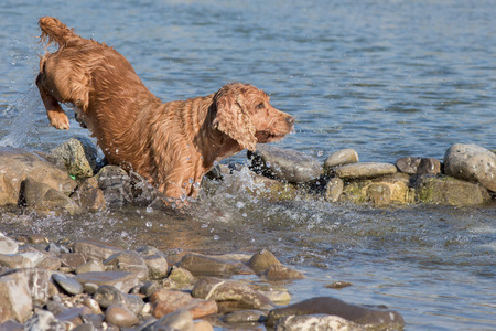 cocker: cocker spaniel while running to you in the water Stock Photo