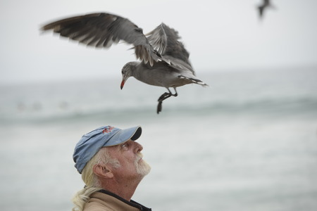 zuma: LOS ANGELES, USA - AUGUST 3, 2014 - seagull landing on a man head in Zuma sandy beach