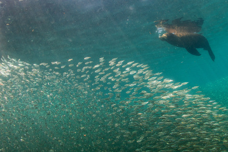 bait ball: Family of Sea lion Seals after a giant sardine bait ball