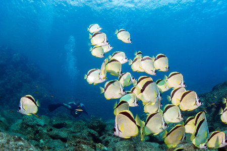 napoleon fish: family of angel fish in the reef background Stock Photo