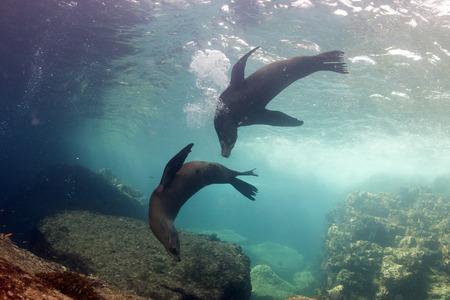 baja california: Seal sea lion in baja california coming to you Stock Photo