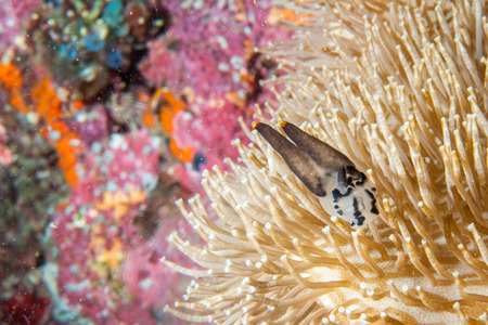 guinea worm: A white and black nudibranch in Raja Ampat Papua, Indonesia