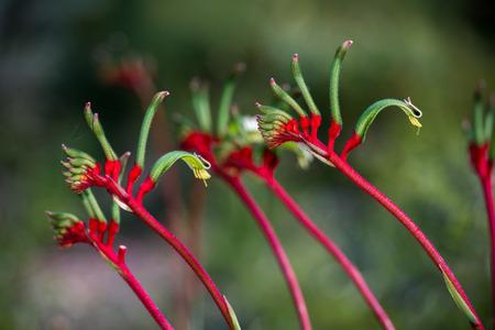 Kangaroo Pow flower West Australia symbol