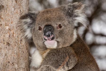 koala: Wild koala on a tree portrait