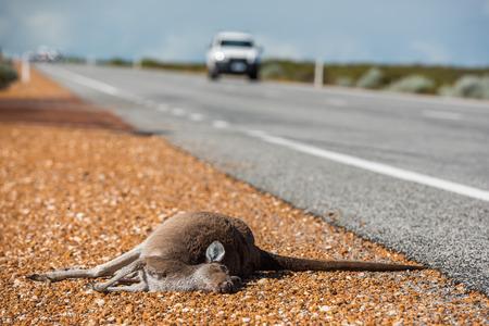 kangaroo white: Dead kangaroo on a road in West Australia Stock Photo
