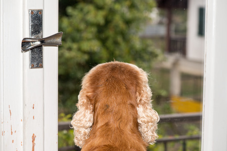 longing: Cocker Spaniel Dog waiting at the window Stock Photo