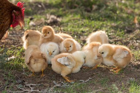 chicken brooding hen and chicks in a farm