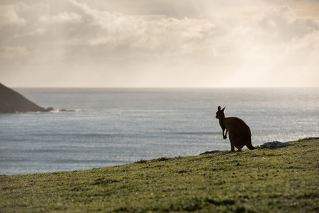 Kangaroos while looking at you at sunset in kangaroo island