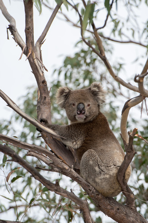 Wild koala on a eucalyptus tree portrait