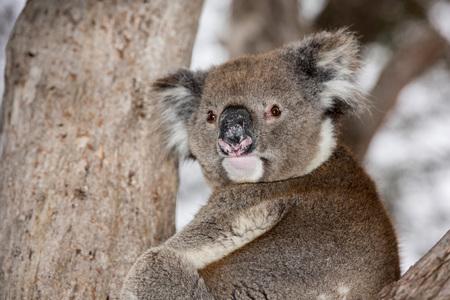 coala: Koala salvaje en un retrato �rbol de eucalipto