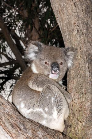 koala: Wild koala on a eucalyptus tree portrait