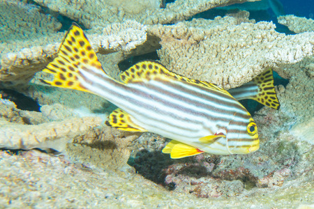 sweetlips: A colorful sweet lips  fish looking at you in Maldives Stock Photo