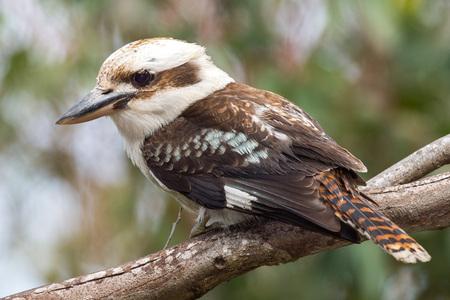 Kookaburra 오스트레일리아는 당신을보고있는 동안 새 초상화를 웃고 스톡 콘텐츠
