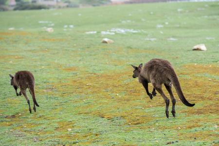 kangaroo: Kangaroos while jumping at sunset in kangaroo island