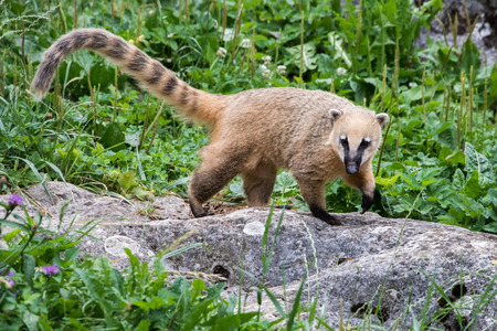 and diurnal: nasua Racoon portrait on the forest background