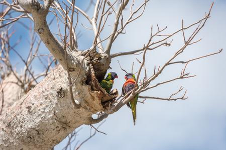 adansonia: Australia colorful parrots on boab tree nest