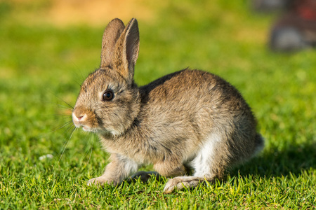 jack rabbit: Jack rabbit hare while looking at you on grass background